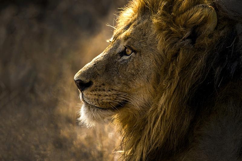Bahaadeen Al-Qazwini Lion King Portrait