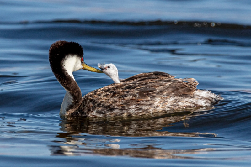 Jerry Fenwick Grebe Turns as Chick Stretches