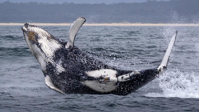 David Bassett Landing humpback