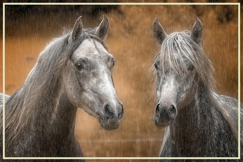 Herdis Halvas-Nielsen Two Arabians