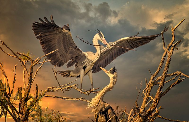 Herons Nest Building At Sunset, Boytell  Kerry , Australia