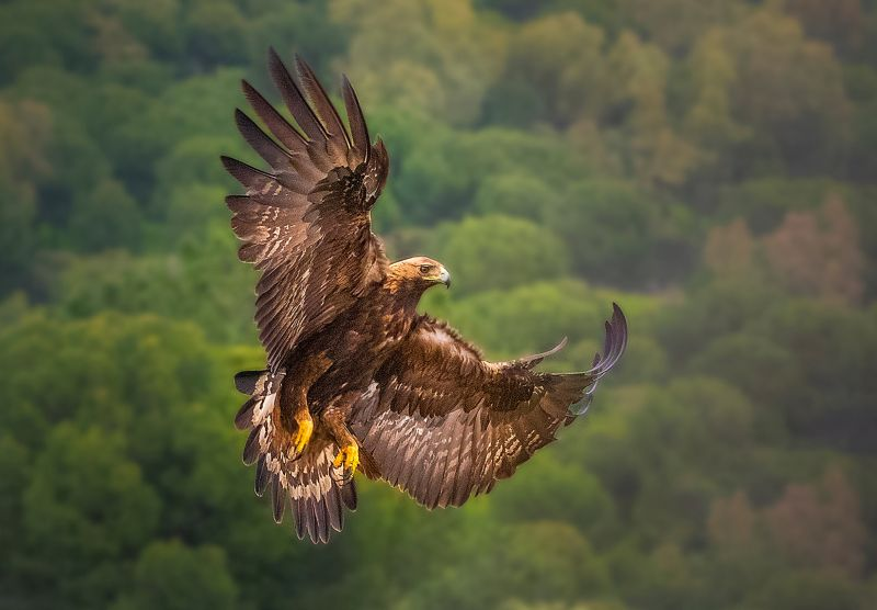 Golden Eagle In Flight, Boytell  Kerry , Australia