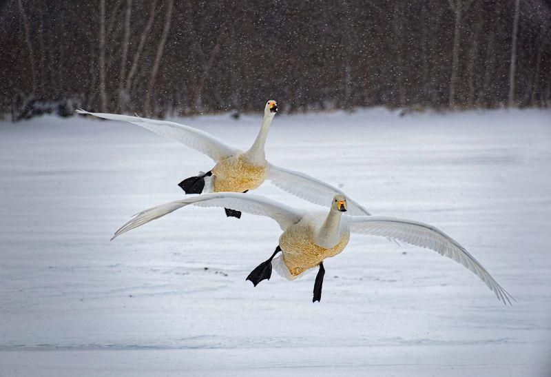 Whooper Swans Landing, Boytell  Kerry , Australia