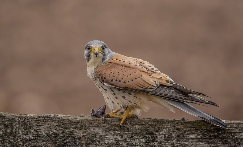 Kestrel And Its Prey, Smalley  Karen , England