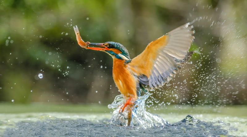 Kingfisher With Catch, Smalley  Karen , England