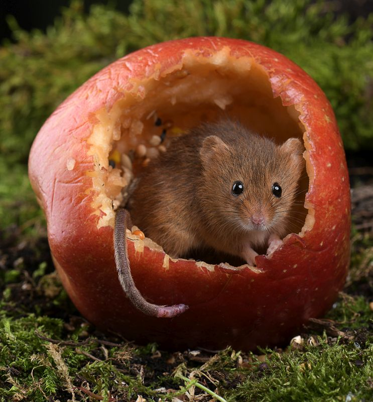 Sweet Apple Mouse, Jenkin  Barbara , England