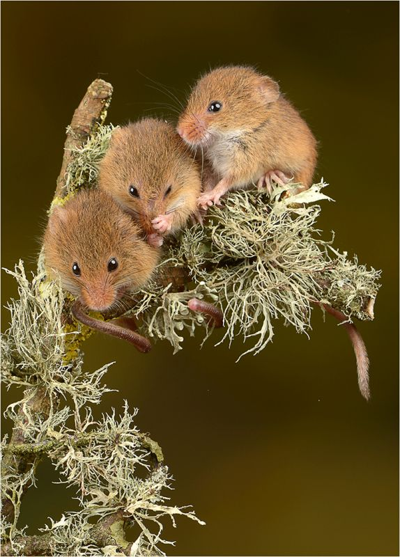 Three Mice On Lichen, Jenkin  Malcolm , England