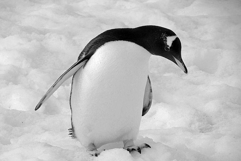 Gentoo Penguin, Anderson  Margaret , New Zealand