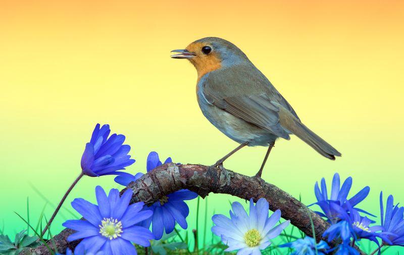 Robin In Spring, Schmitz  Willi , Germany
