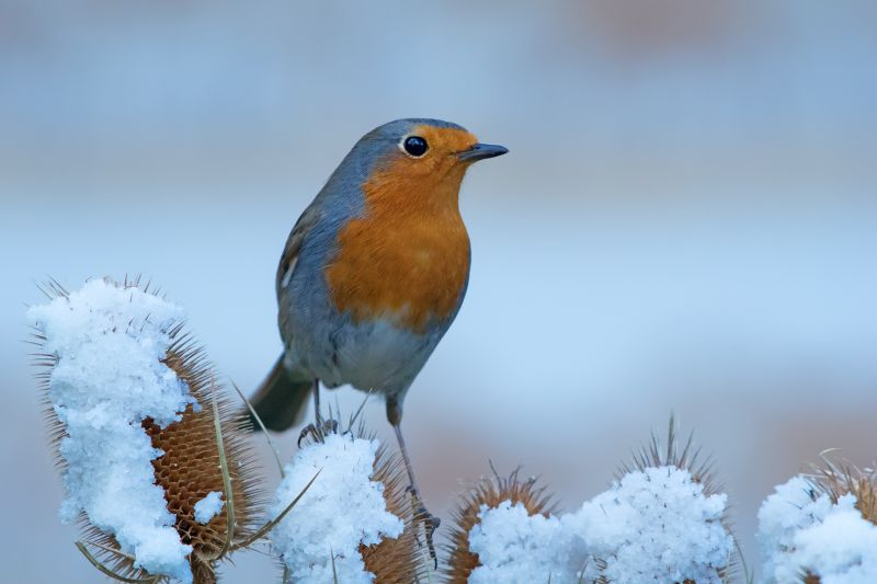 Robin In Wintertime, Schmitz  Willi , Germany