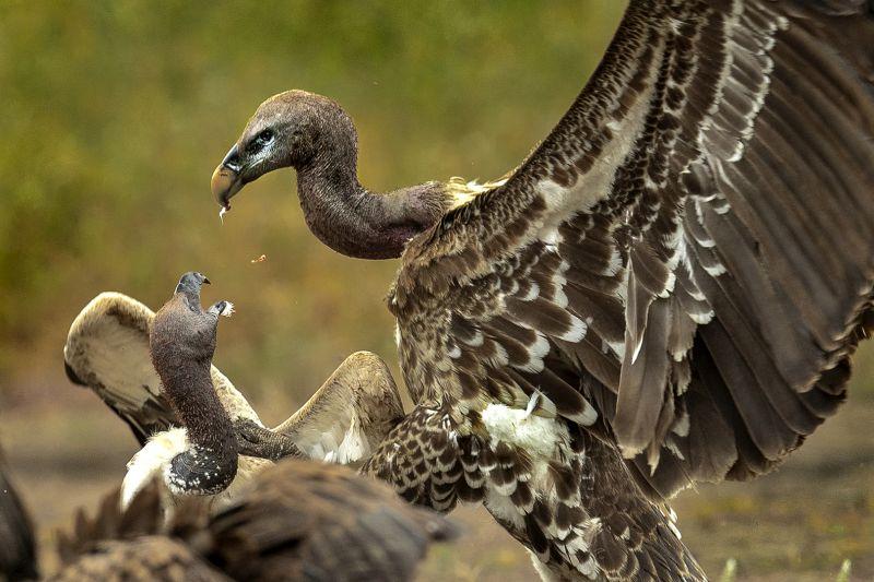 Vulture Fight, Al-qazwini  Bahaadeen , Kuwait