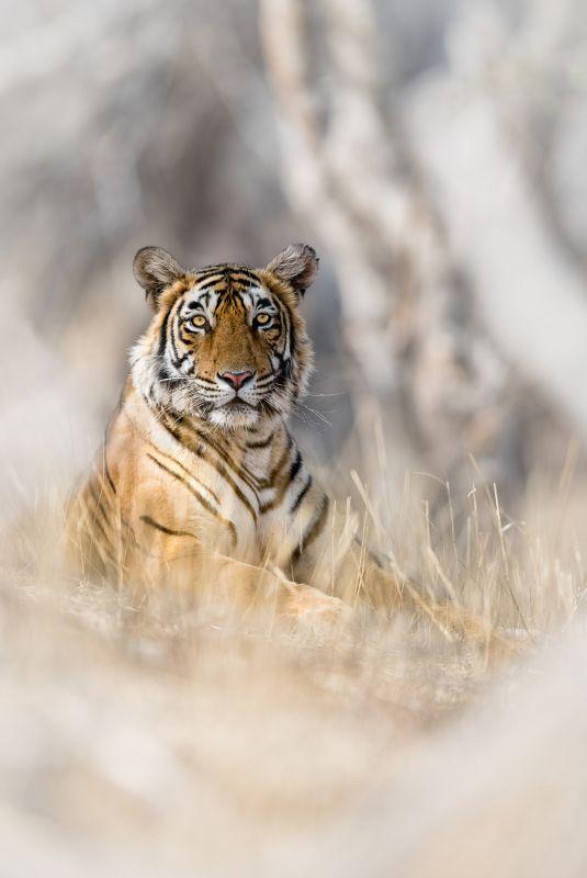 Portrait Of A Tiger, Vijayan  Thomas , Canada
