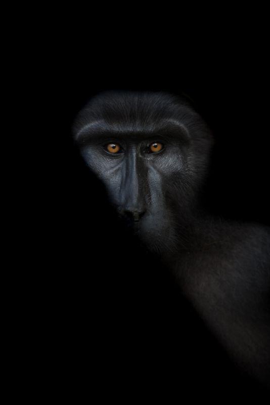 Tonkean Macaque, Vijayan  Thomas , Canada