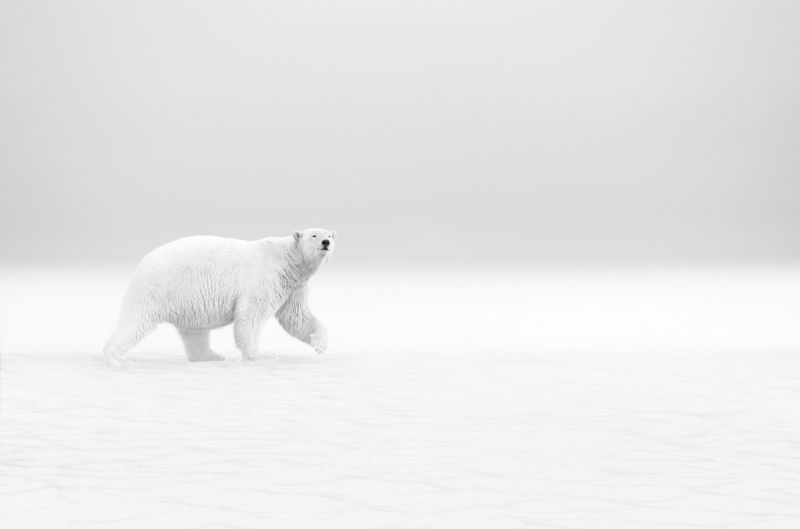 Polar Walk, Vijayan  Thomas , Canada