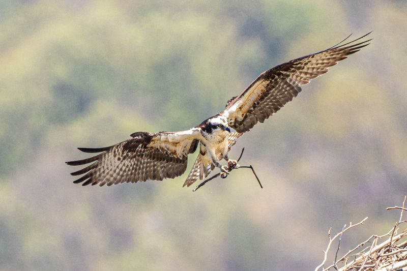 Osprey Building The Nest 2, Tran  Chinh , Usa