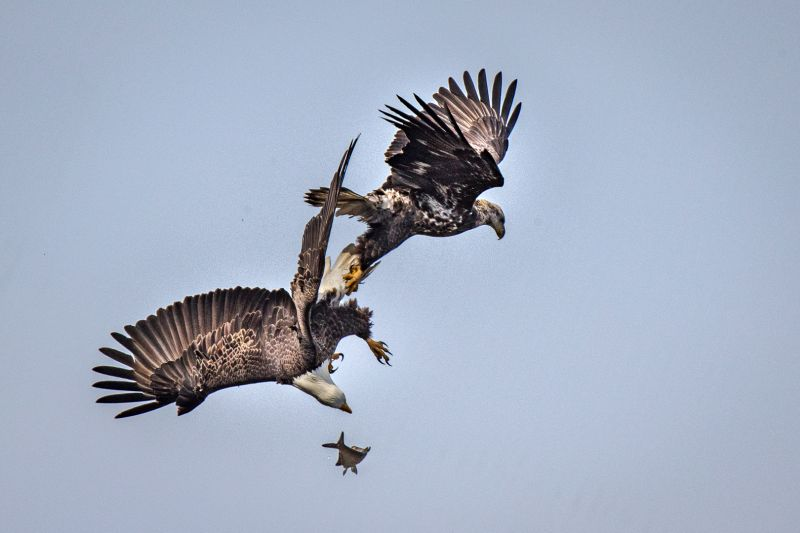 Eagle Fighting, Tran  Chinh , Usa