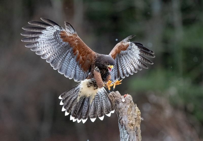 Red Tail Hawk, Tran  Chinh , Usa