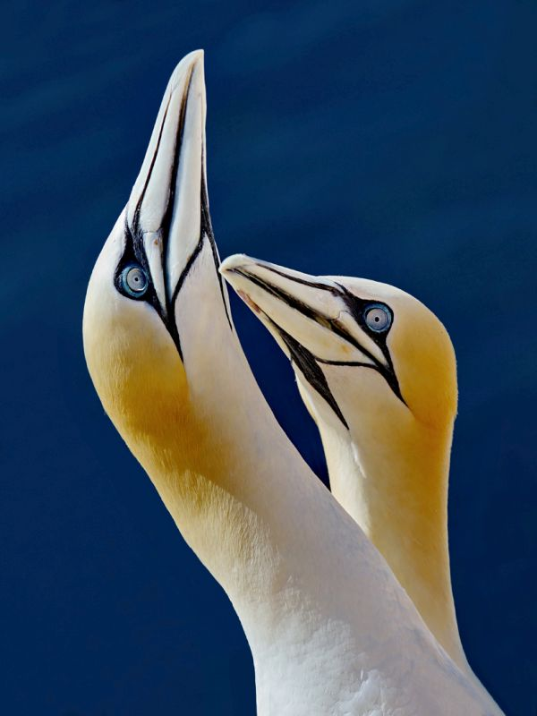 Gannets In Harmony, Griepentrog  Hans-werner , Germany