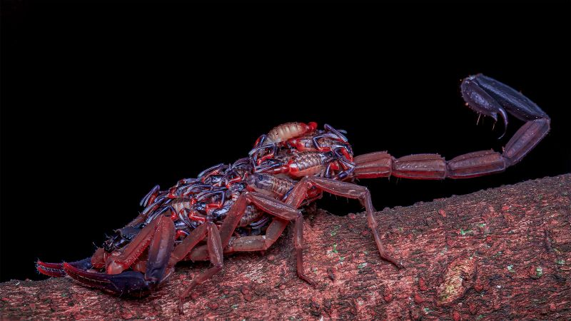 Mother Scorpion With Babies, Lee  Meng Chew , Singapore
