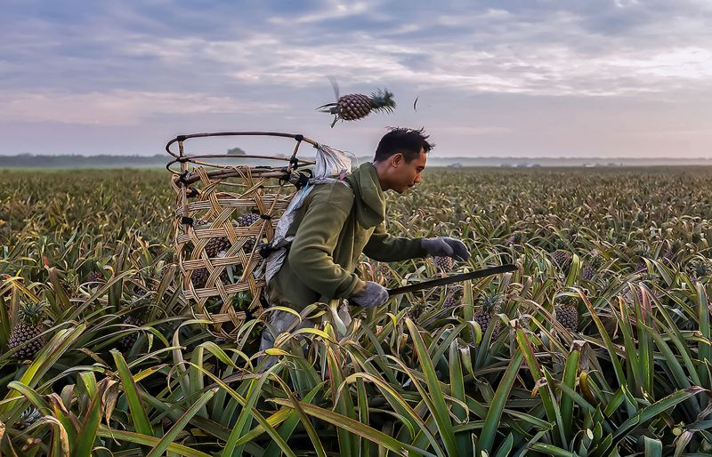 Harvesting Of Pineapple, Lee  Meng Chew , Singapore