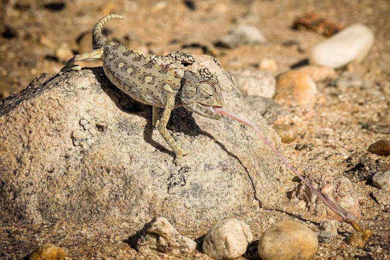 Desert Chameleon, Balfe  Paul , Australia