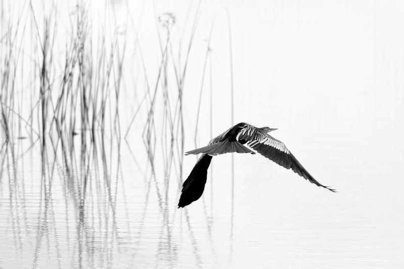 Anhinga Into The Mist, Jones  Gary , Usa