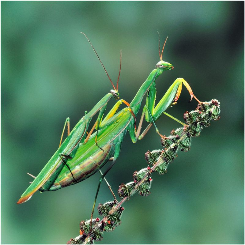 Sphodromantis Viridis 2, Anagnostidis  Marc , France