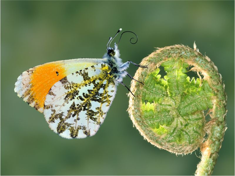 Orange Tip Et Filicaria, Anagnostidis  Marc , France