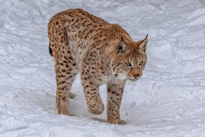 Adult Siberian Lynx, Webster  Jennifer Margaret , England