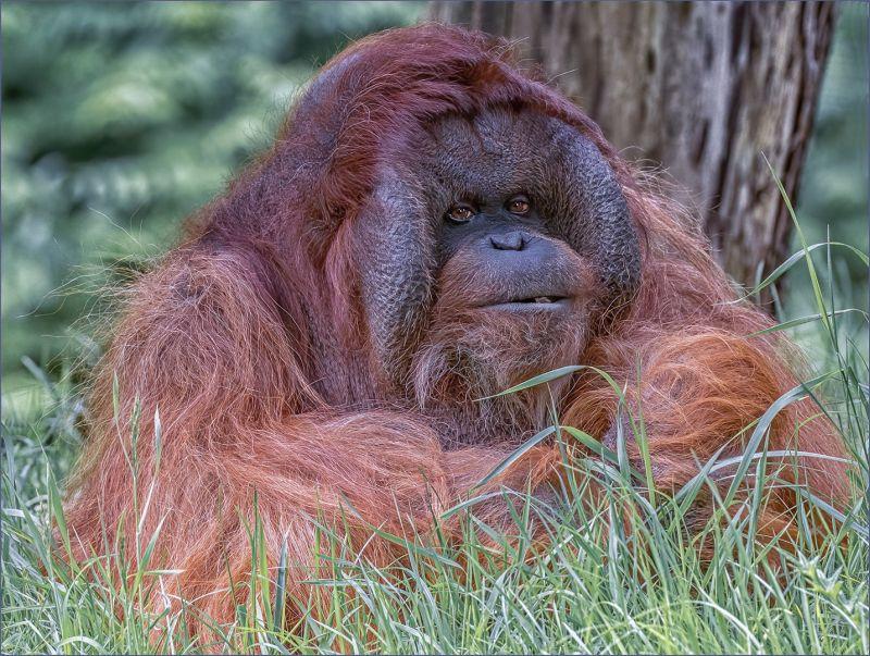 Male Orangutang, Webster  Jennifer Margaret , England