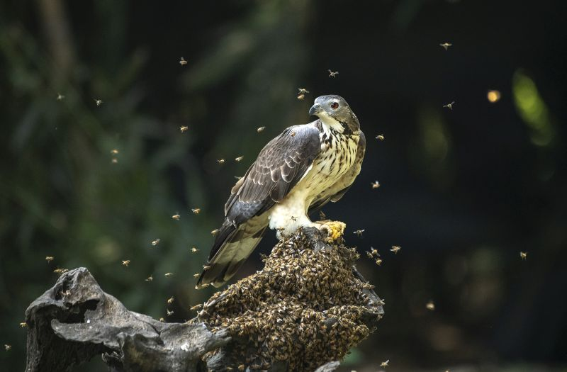 Oriental Honey Buzzard 5, Tan  Lee Eng , Singapore