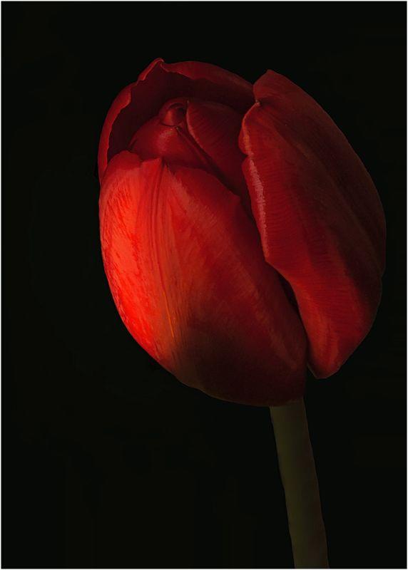 Tulip At Dawn, Pacton  Greg , Usa