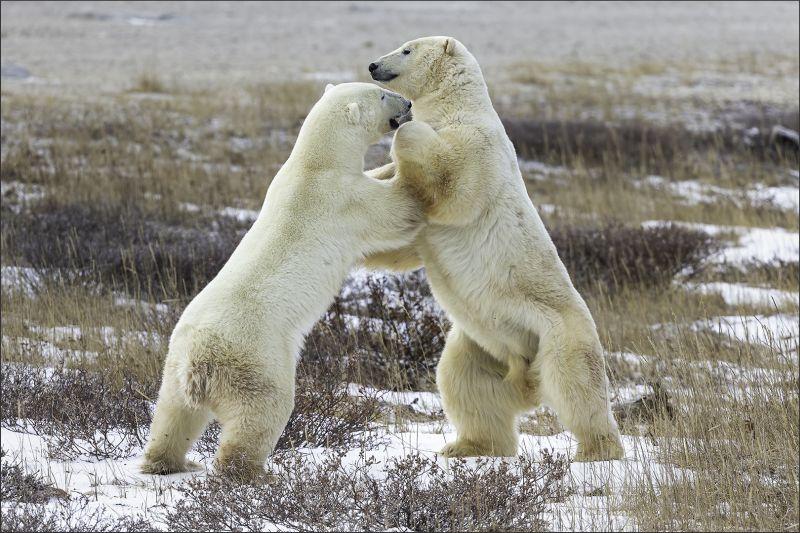 Polar Bear Playing 42, Kwan  Phillip , Canada