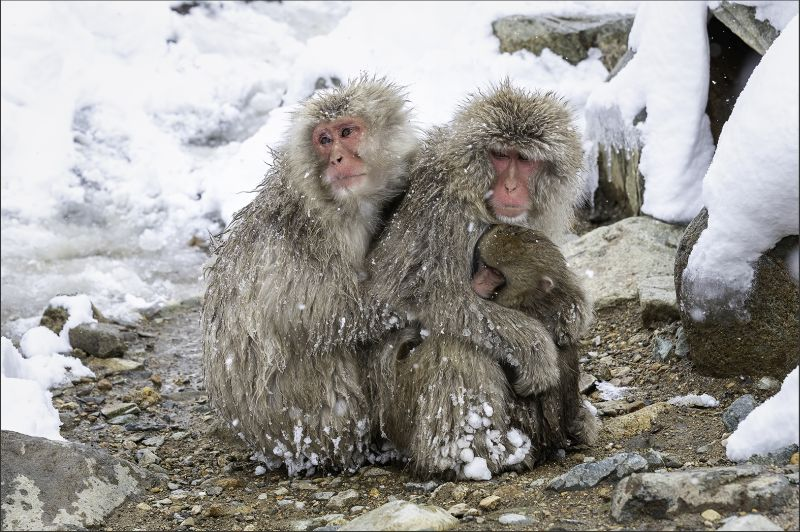 Snow Monkey Keep Warm 31, Kwan  Phillip , Canada
