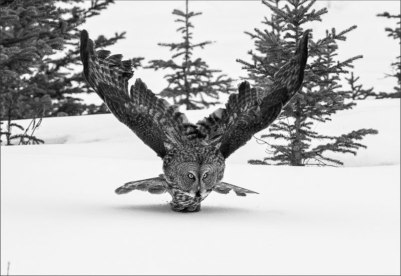 Grear Gray Owl 92, Kwan  Phillip , Canada