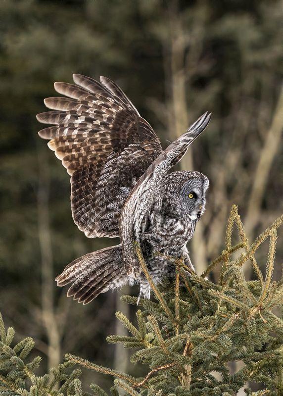 Great Gray Owl 6, Kwan  Phillip , Canada