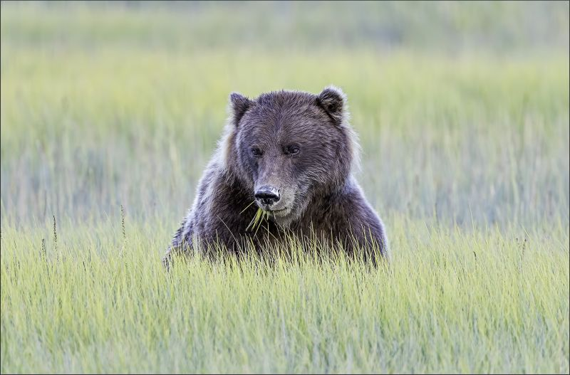 Cub With Grass, Kwan  Phillip , Canada