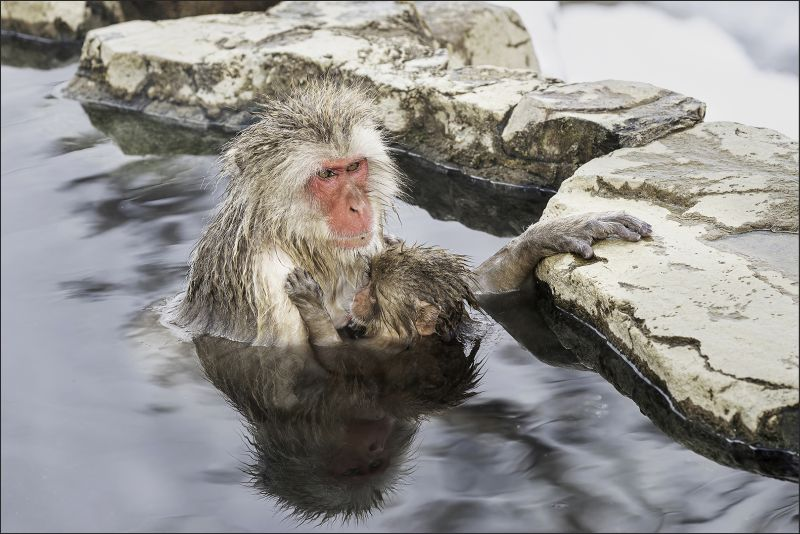 Snow Monkey Nursing 41, Kwan  Phillip , Canada