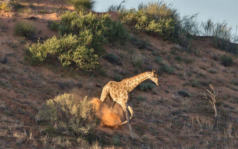 Giraffe On Sand Dune, Killen  Roy , Australia