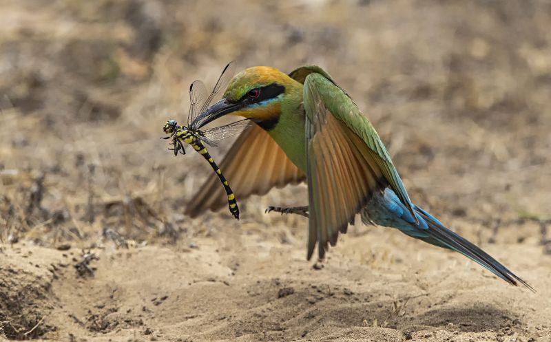 Bee Eater With Dragonfly, Ryan  Peter , Australia