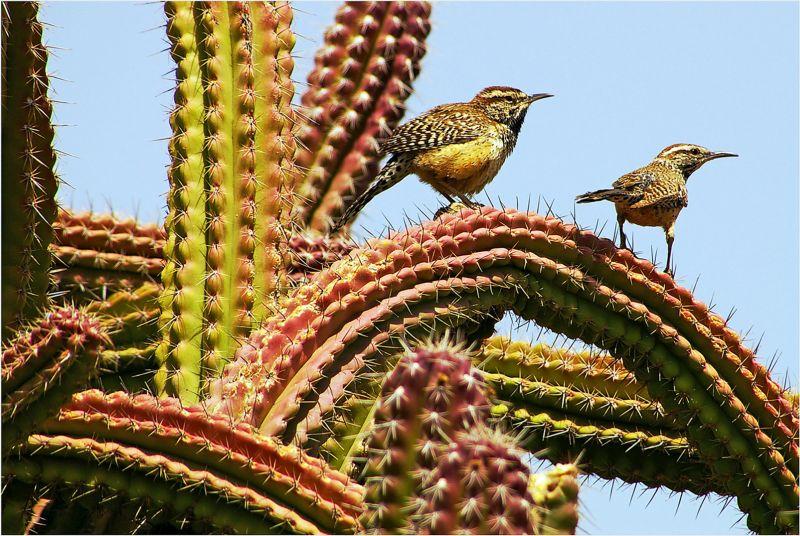 Cactus Wren, Still  William , Usa