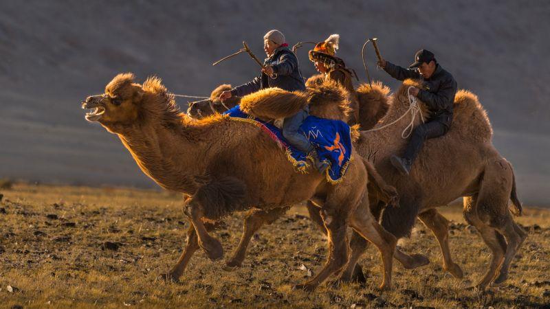 Kazak Camel Race, King  Francis , Canada