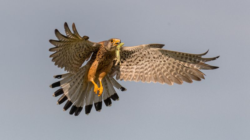 Kestrel With Green Lizard 101, King  Francis , Canada