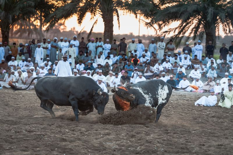Suwaiq Bullfight 6, Sengupta  Sanjoy , India