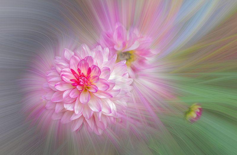 Chrysanthemum, Kong  Lai Wah , Usa