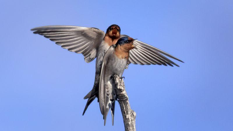 Mating Swallows 2, Bassett  David , Australia