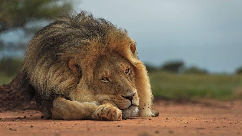 Lion King Ground, Kruger  Willem , South Africa