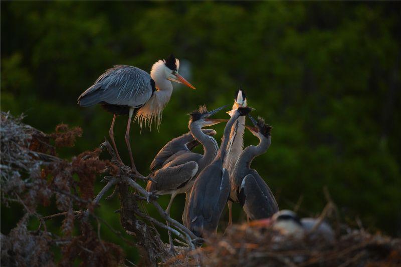 Heron Family, Zhou  Donglin , China