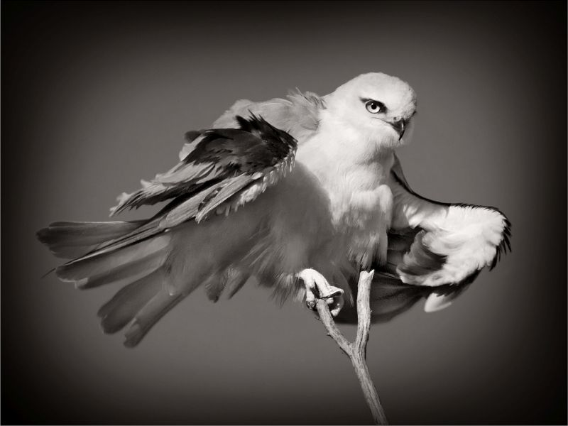 Kite Fluffing Feathers, Horsnell  Jenni , Australia