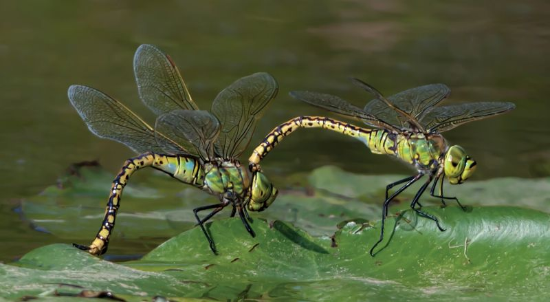 Dragonfly Laying Eggs 6, Horsnell  Jenni , Australia